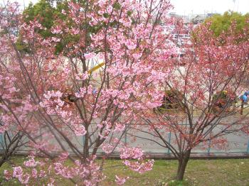 小学校近くの桜