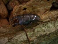 世界の大昆虫王国のクワガタムシ