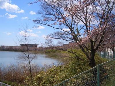 尾張旭市にある池と桜の風景