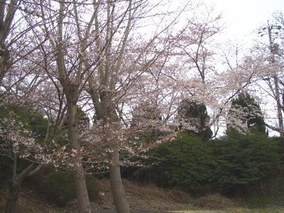 桜を見ながら花見する