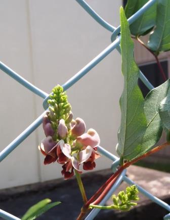 アピオスの花