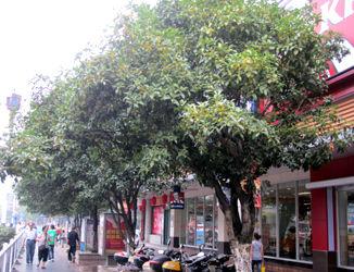 桂林的金木犀 152
