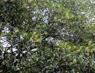 金木犀的桂林140