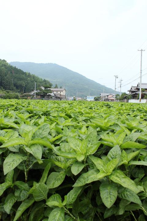 藍の葉の刈取りの季節