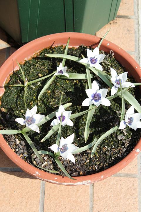 アルバコエルレアオクラータの花