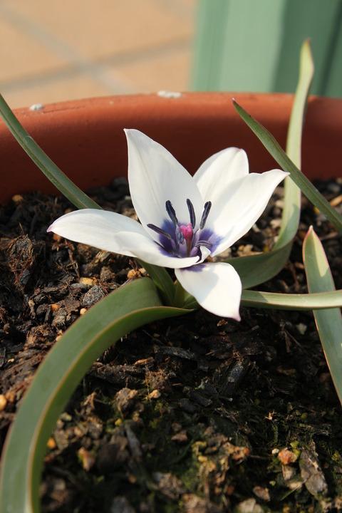 原種系チューリップ アルバコエルレアオクラータ 花のアップ