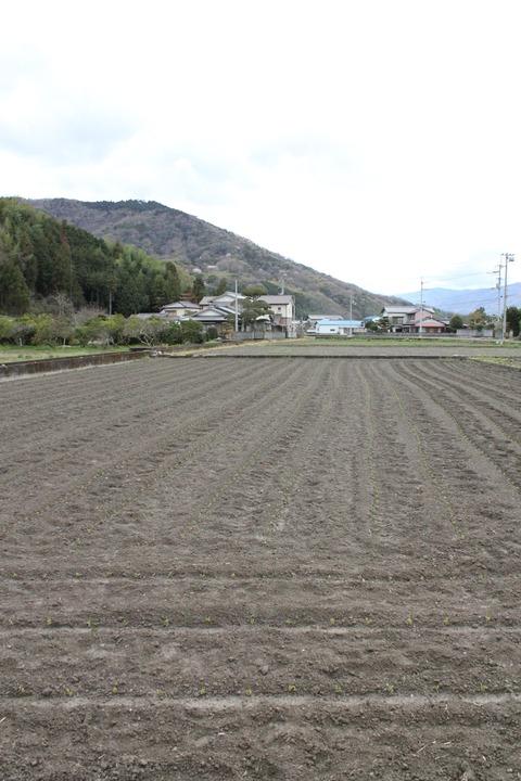 藍の苗を植え替えた畑全景