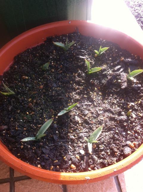 アルバコエルレアオクラータの葉