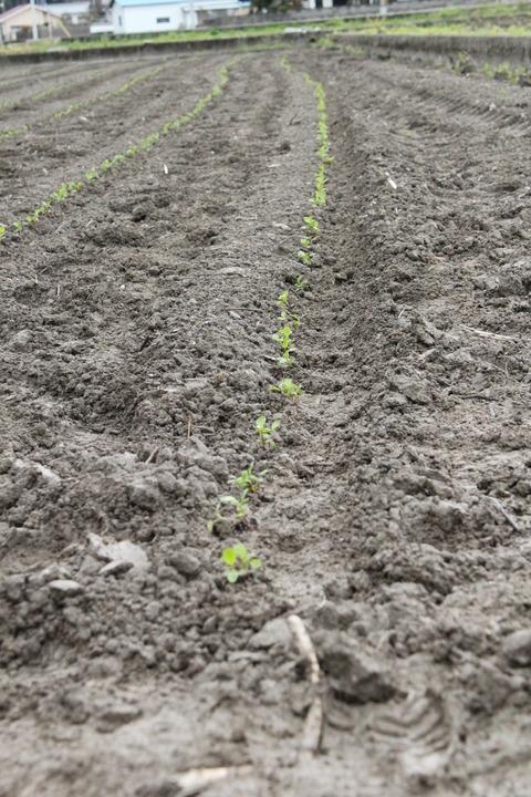 藍の苗を植え替えた畝