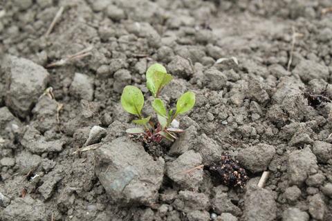植え替えたばかりの藍の苗