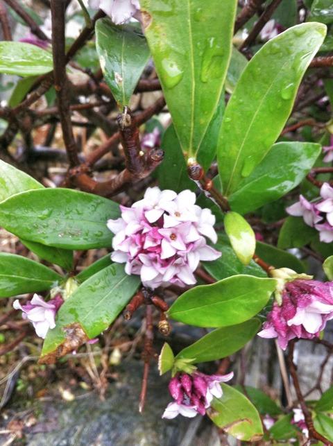 藍色工房 沈丁花の花