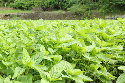 徳島県吉野川市山川町川田の藍の畑の様子