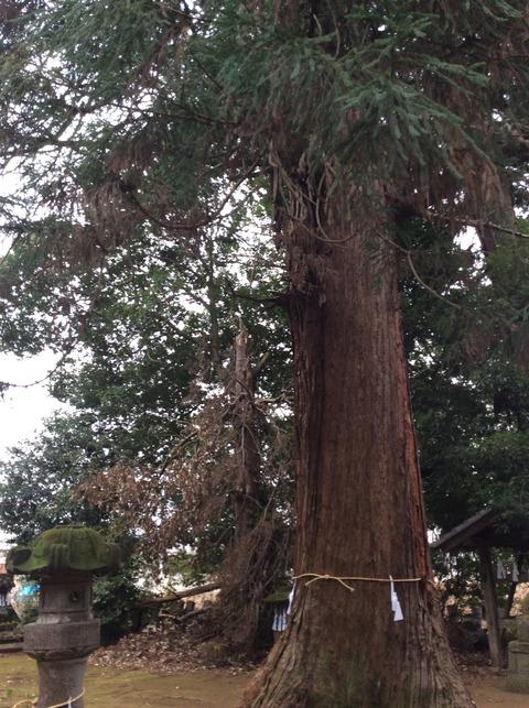 ご神木の杉の木