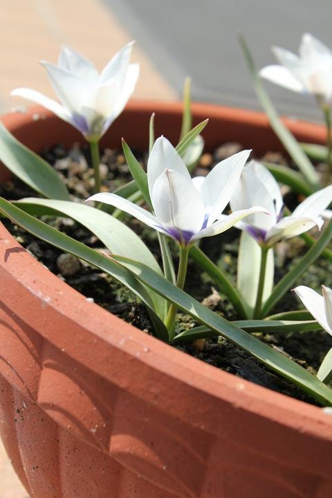 アルバコエルレアオクラータの花の横側からのアップ