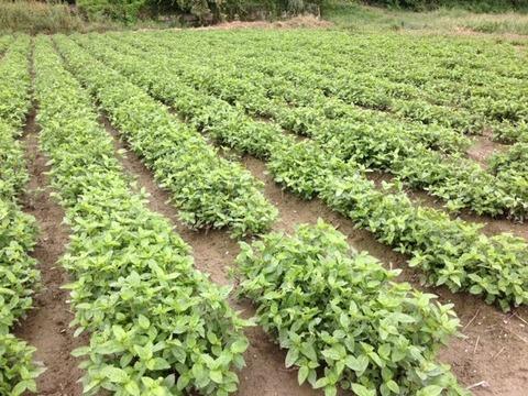 藍農園の生葉染め8