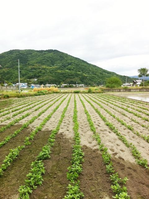 藍色工房 藍の畑の様子2013.5