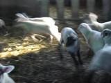 ぽかぽか陽気の中、跳ね回る子羊