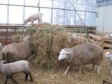 登山するめん羊