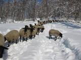 雪の中を散歩するサフォーク