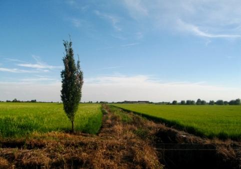 水田の木 1