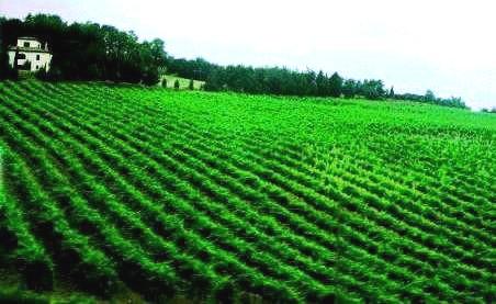 車窓のブドウ畑