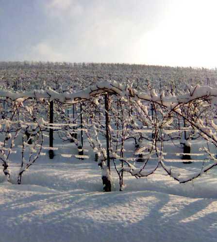 雪のブドウ畑 1