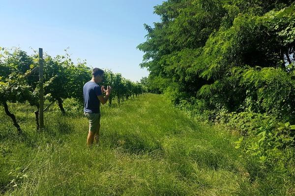 ネッビオーロの畑