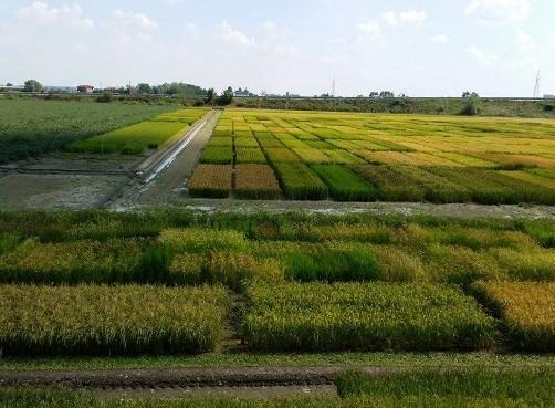 稲作研究所