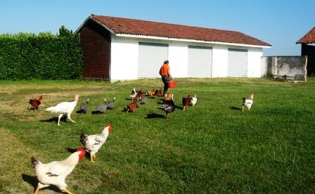 鶏とマウロ
