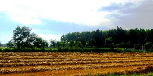 麦畑の収穫