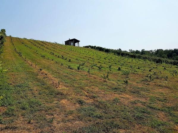 エルバルーチェのブドウ畑 (2)