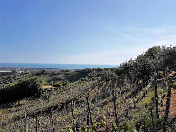 ヴェルメンティーノネロのブドウ畑