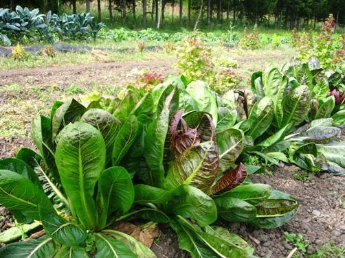 農園の野菜 2