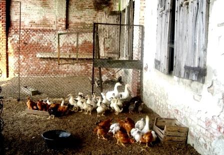 農家の鶏小屋で