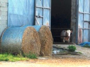 いつもの仔牛