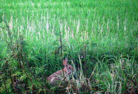 水田に住む野うさぎ