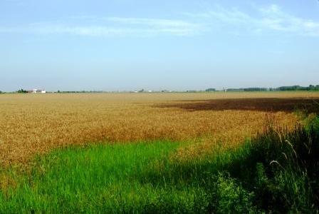 ヴィクトリオの小麦畑。