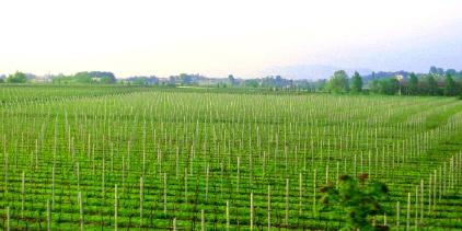 ヴェローナ付近のワイン畑