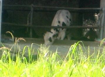 いつもの白い牛