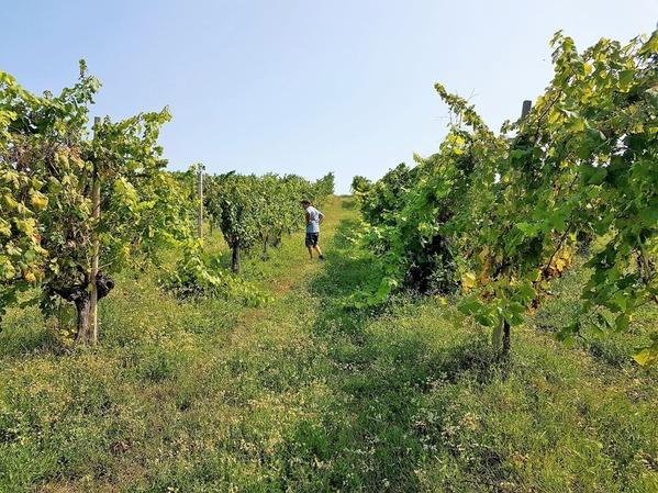 エルバルーチェのブドウ畑 (1)