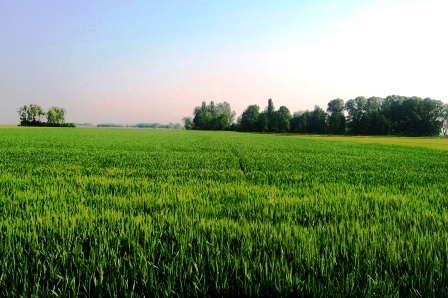 ヴィクトリオの小麦畑