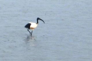 ibis nero
