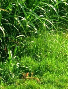 トウモロコシ畑のうさぎ