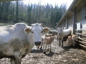ウンブリアの牛
