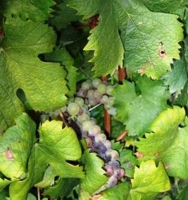 摘み残されたブドウ