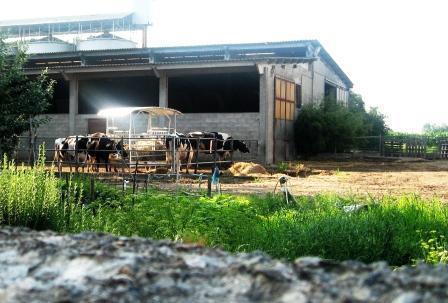 夕方の牛舎で