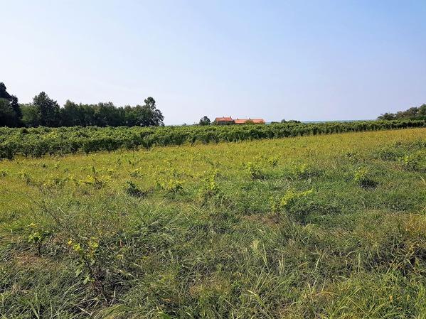 ネッビオーロのブドウ畑