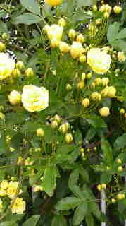 ばら 黄色