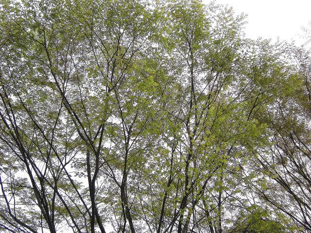 4_9近所の桜44_001