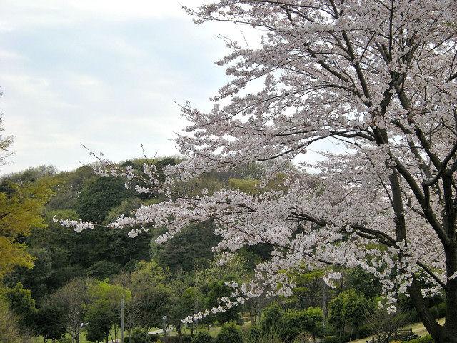 4_9近所の桜26
